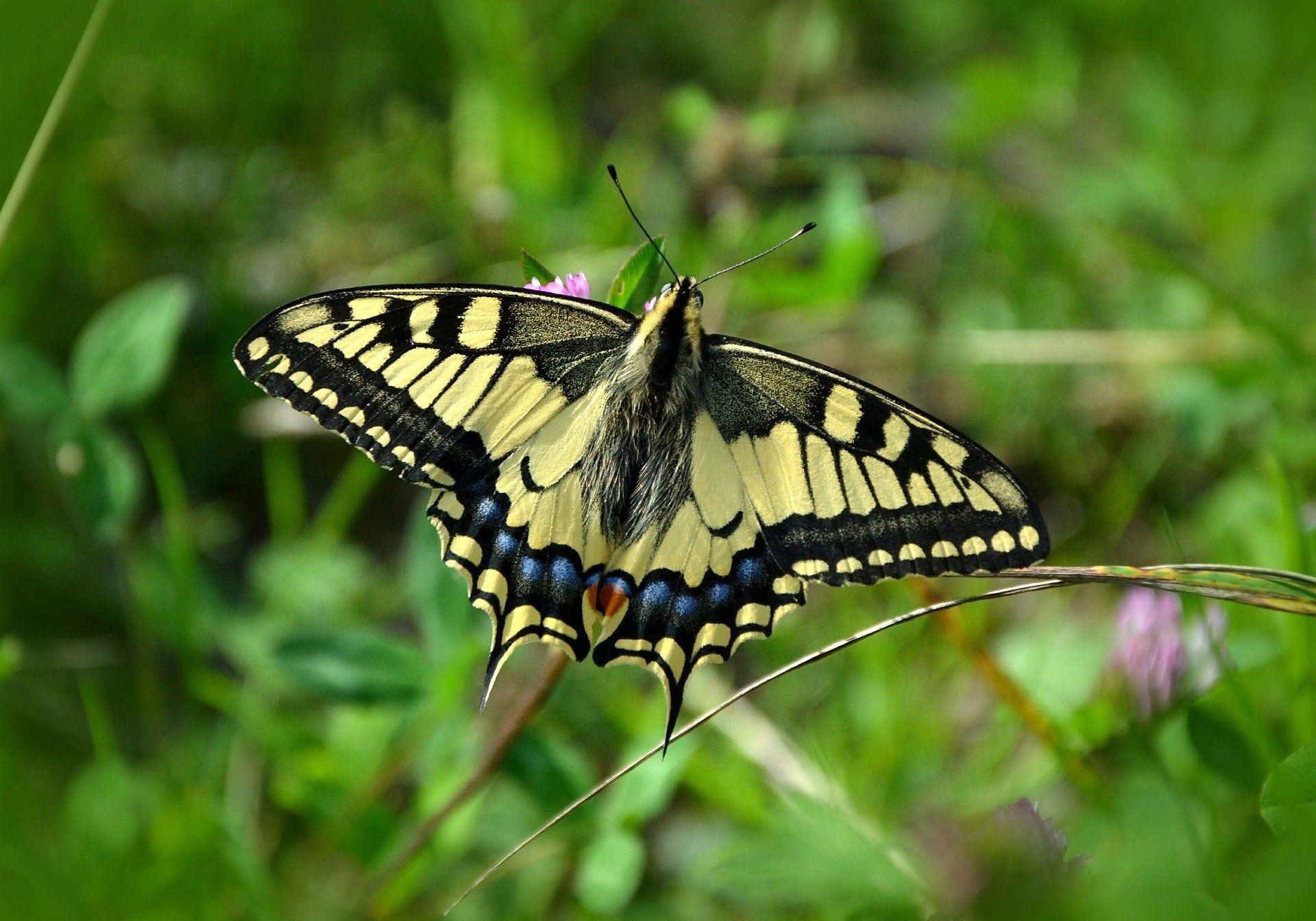 Фото бабочки махаона