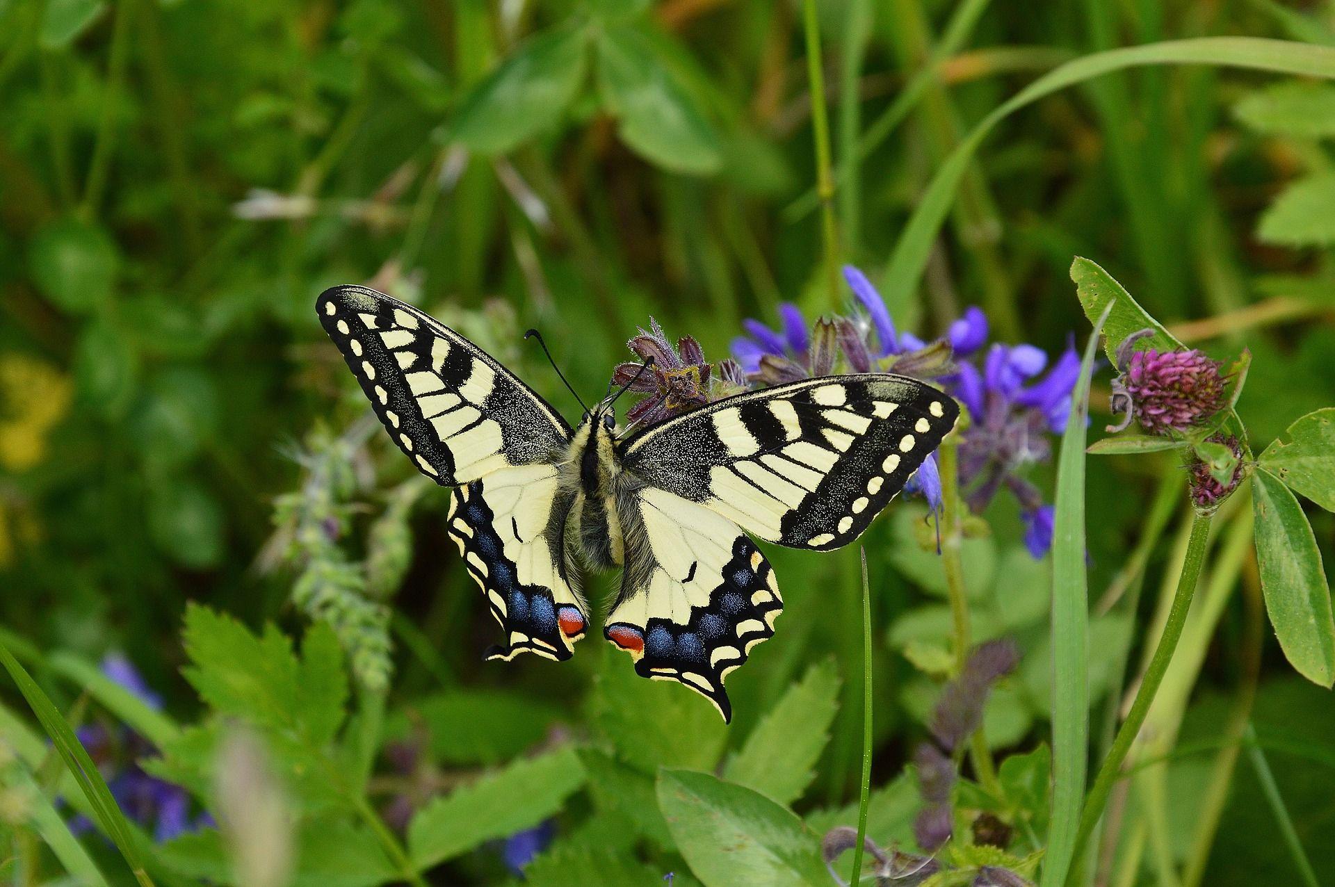 Фото бабочки махаон из Красноярска