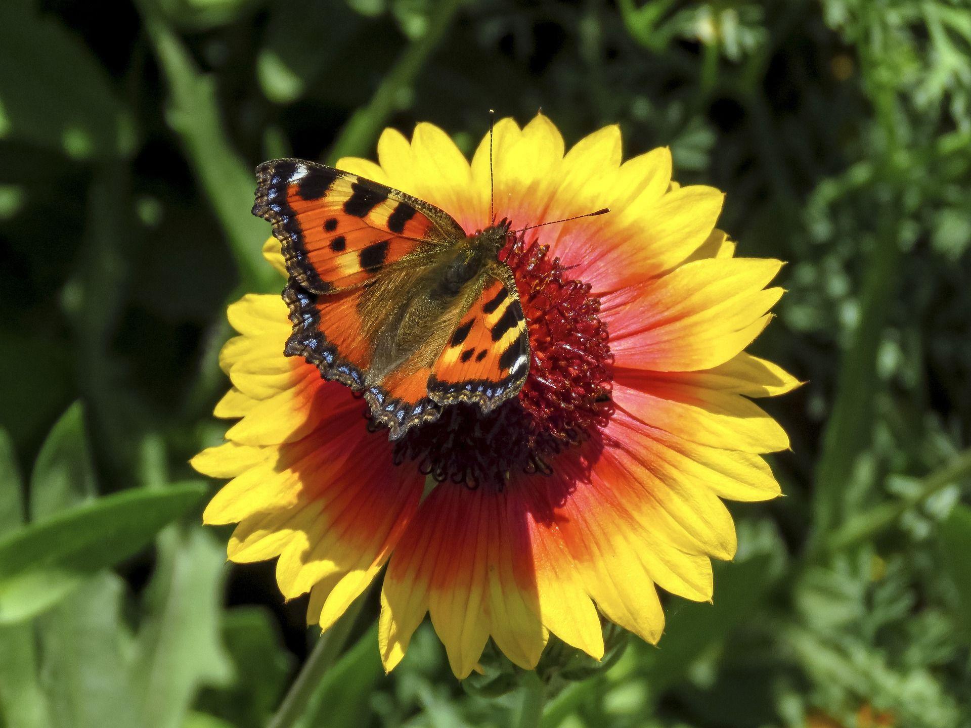 Скачать фото бабочки крапивницы