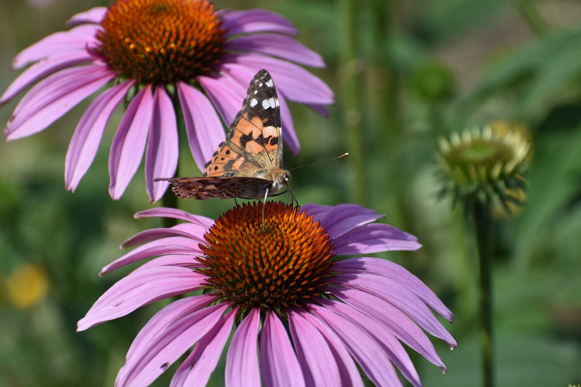 Фото бабочки крапивницы для тех, кто не знает, как она выглядит
