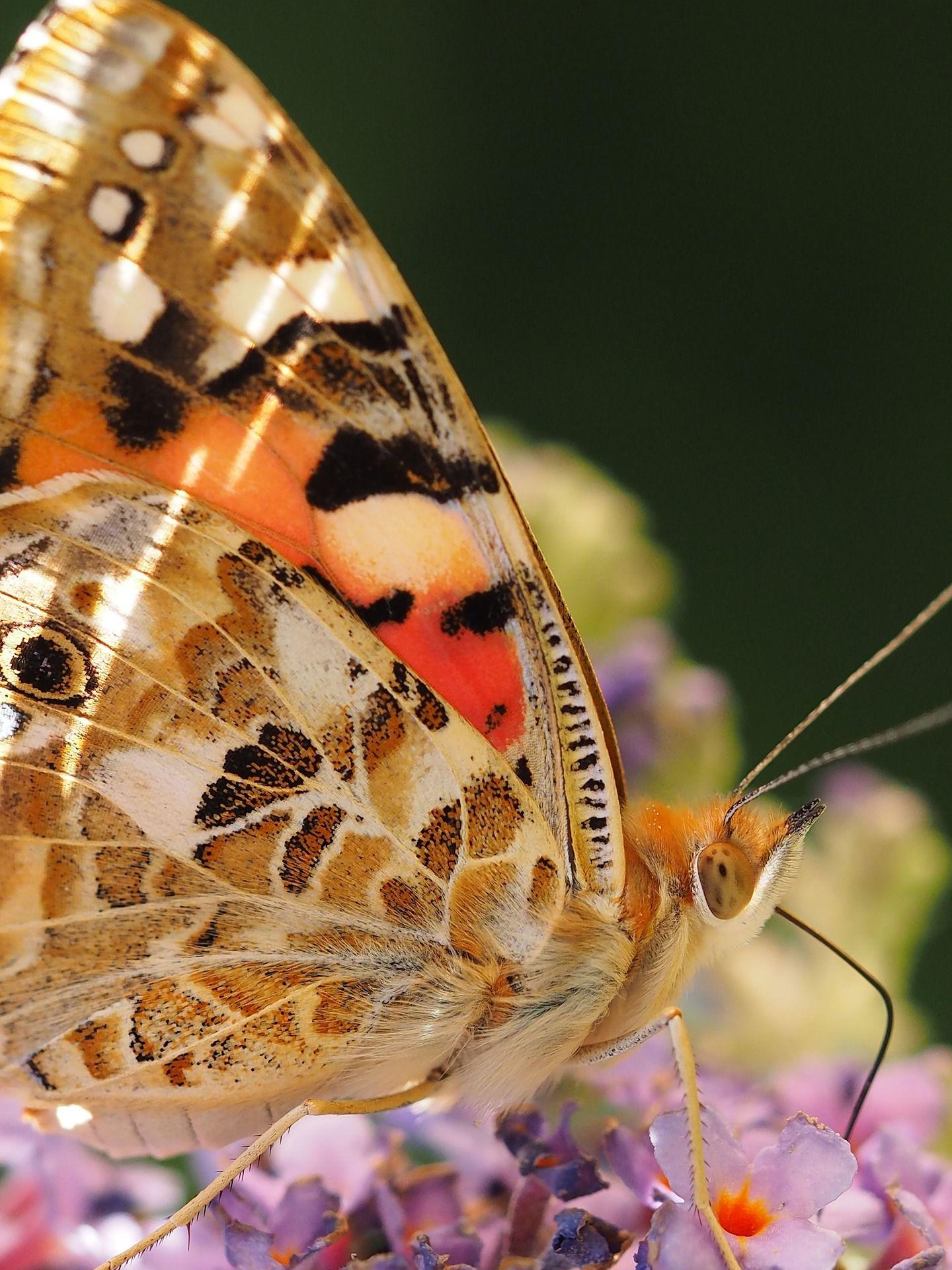 Картинка бабочки крапивницы онлайн