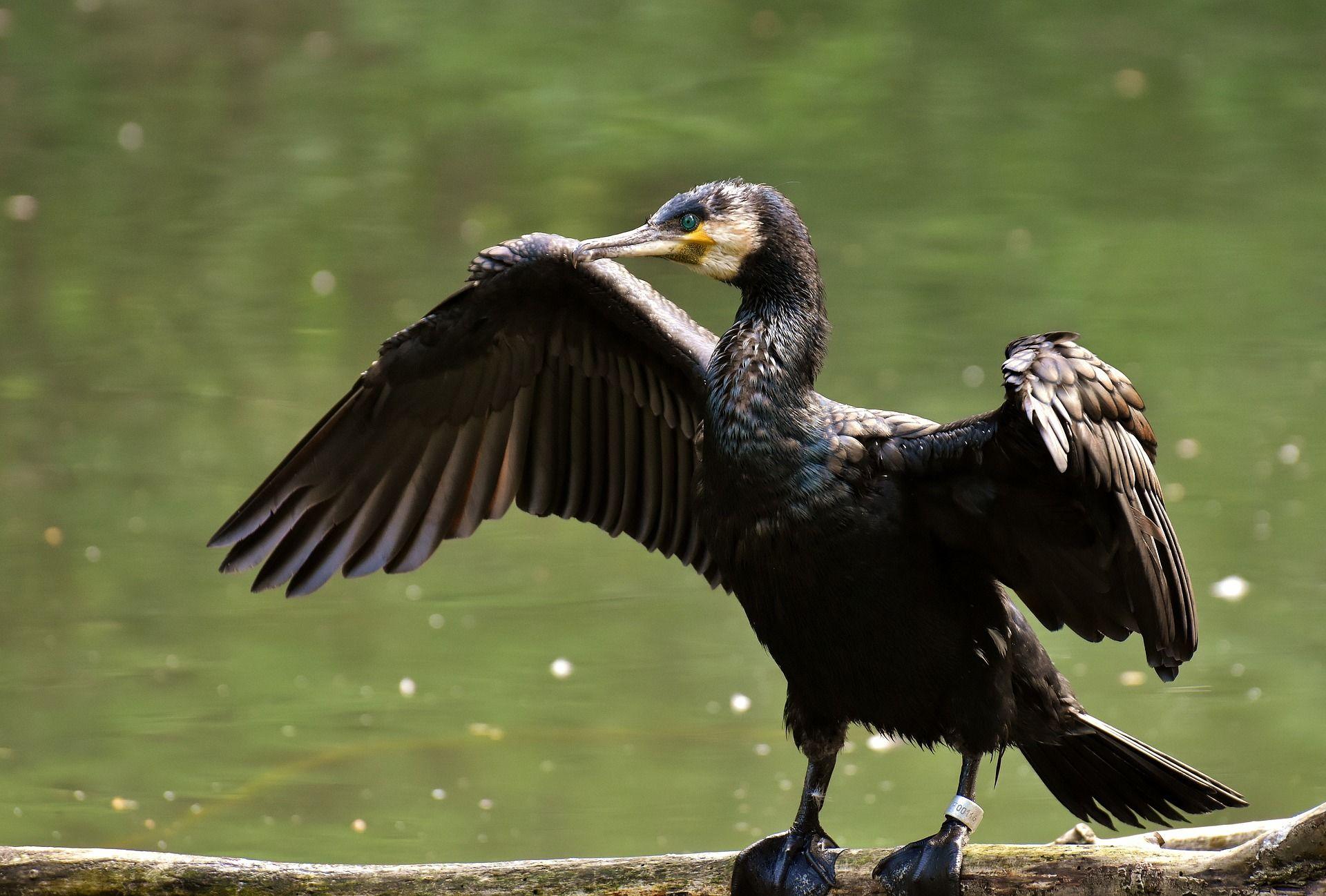 Красивое фото птицы баклана