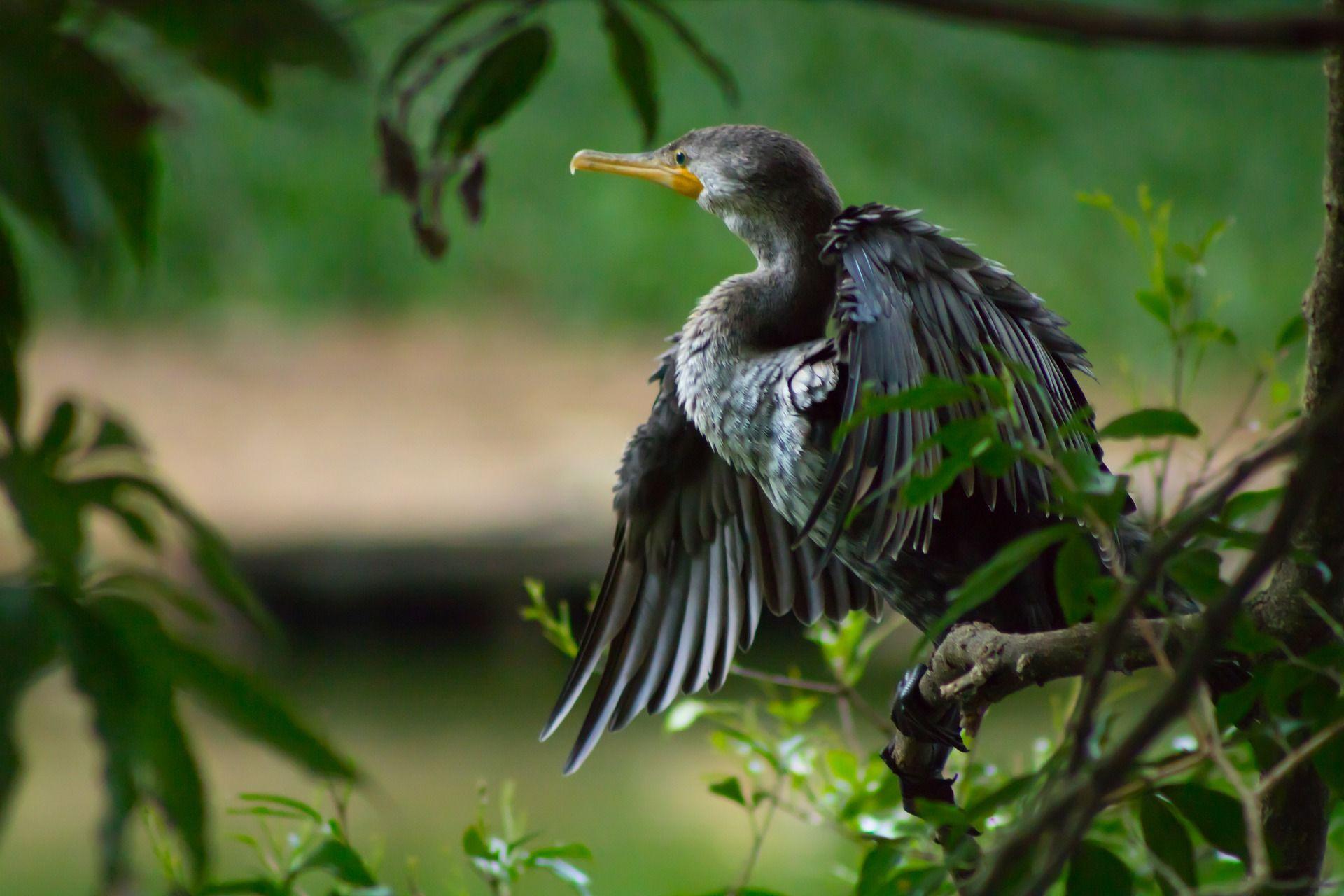 Фото черноморской птицы - баклана