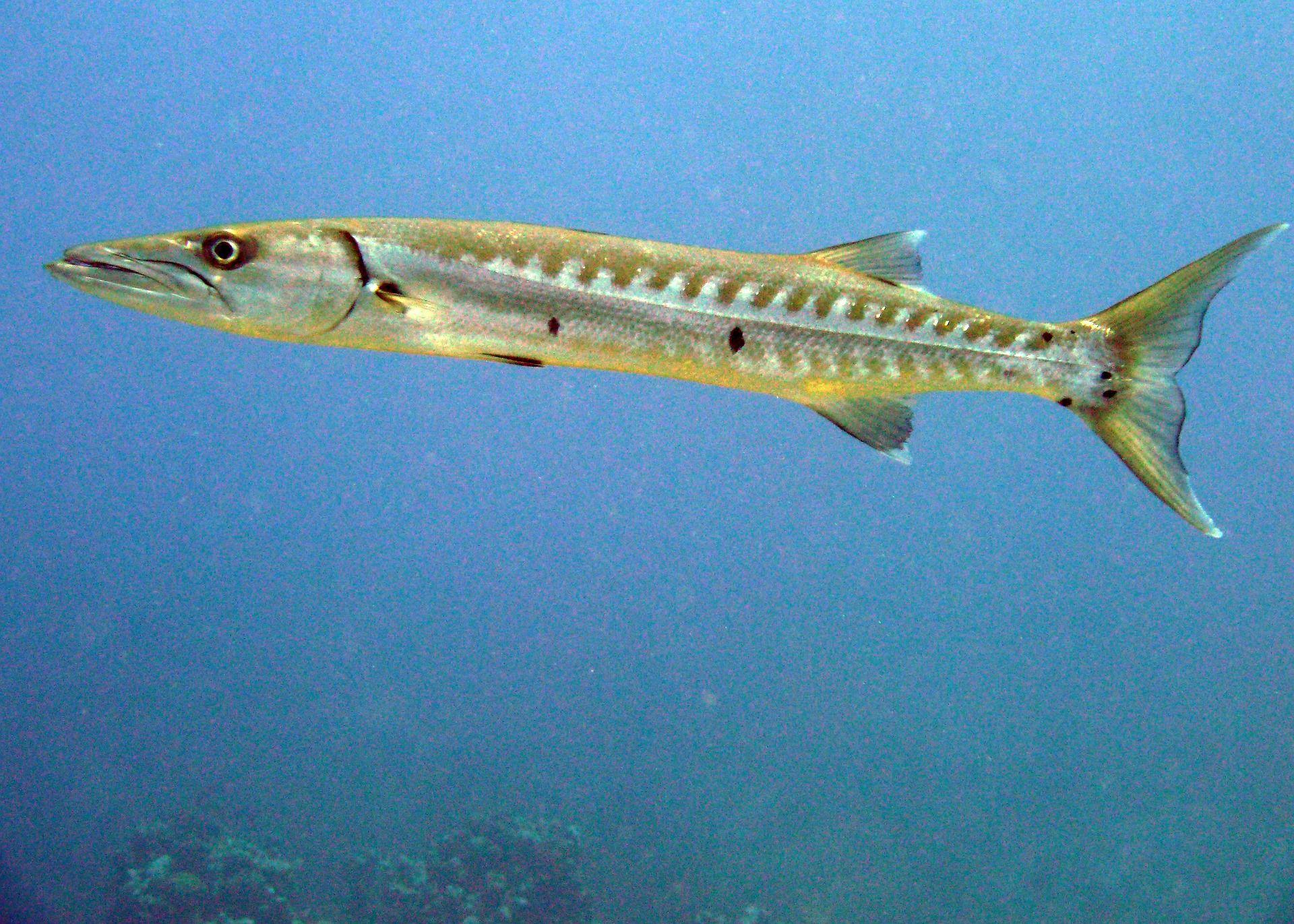 Онлайн фото рыбы барракуды