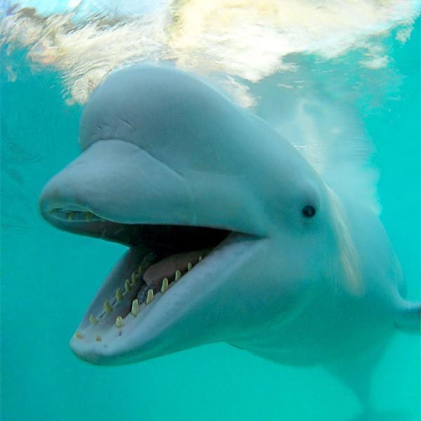 Фото дельфина белухи онлайн