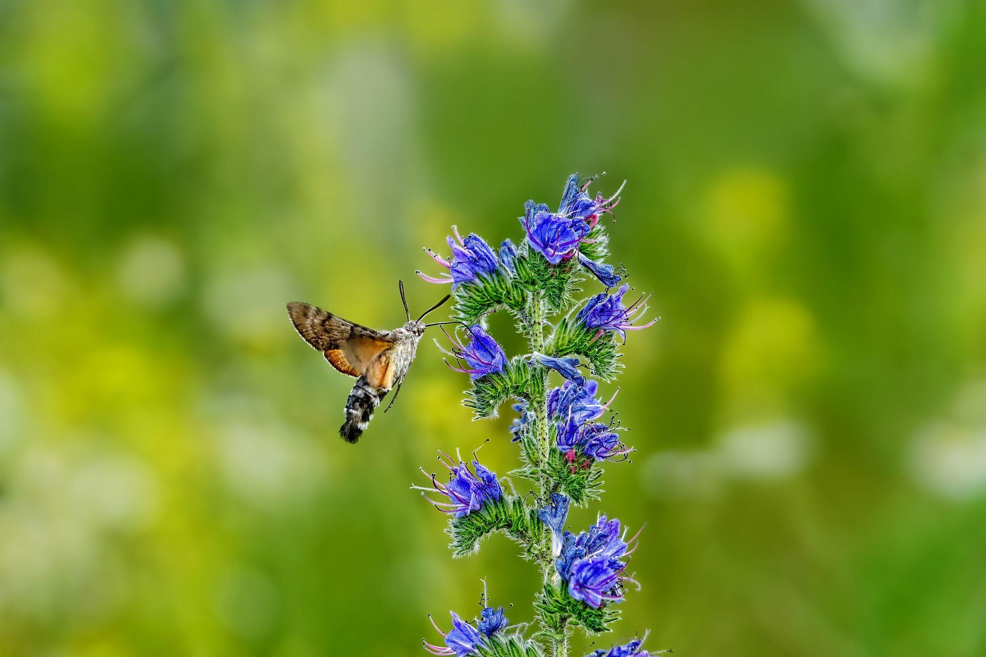 Фото бабочки бражника
