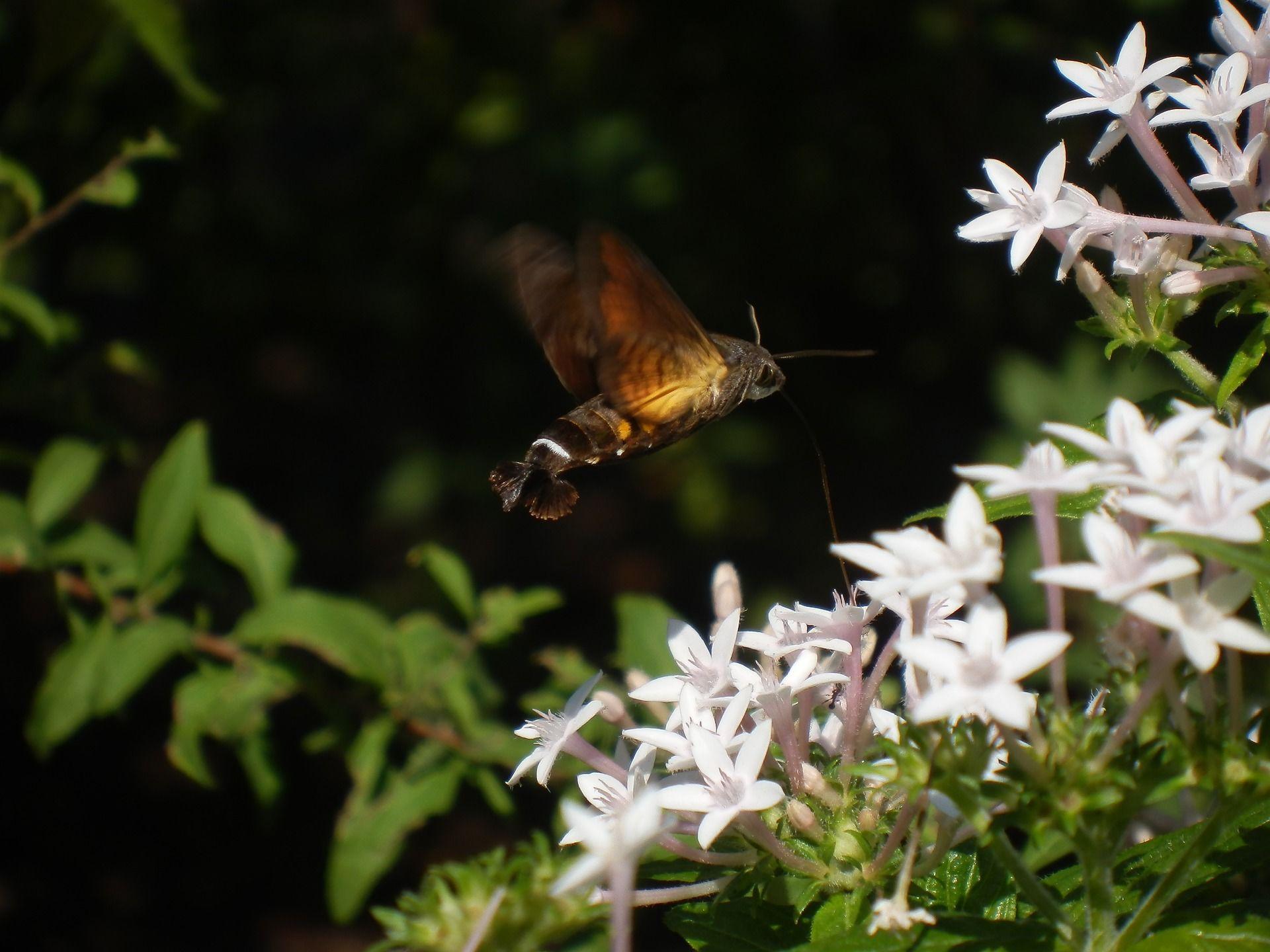 Смотреть фото бабочки бражника