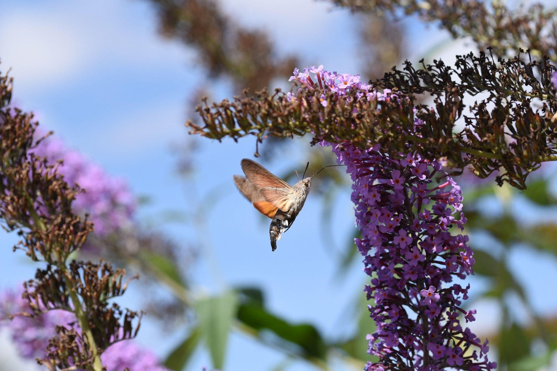 Скачать картинку бабочки бражника