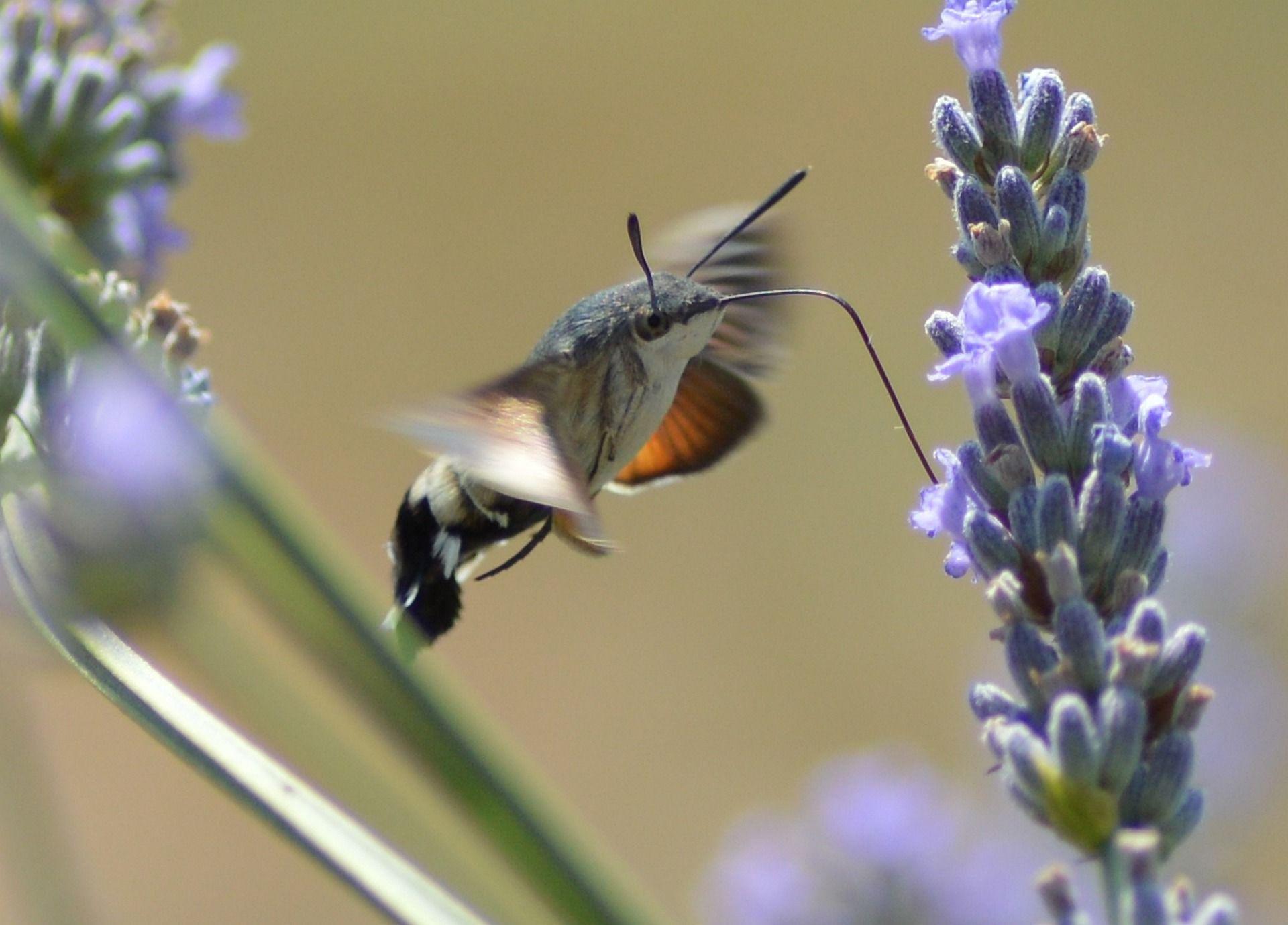 Фото бабочки винного бражника
