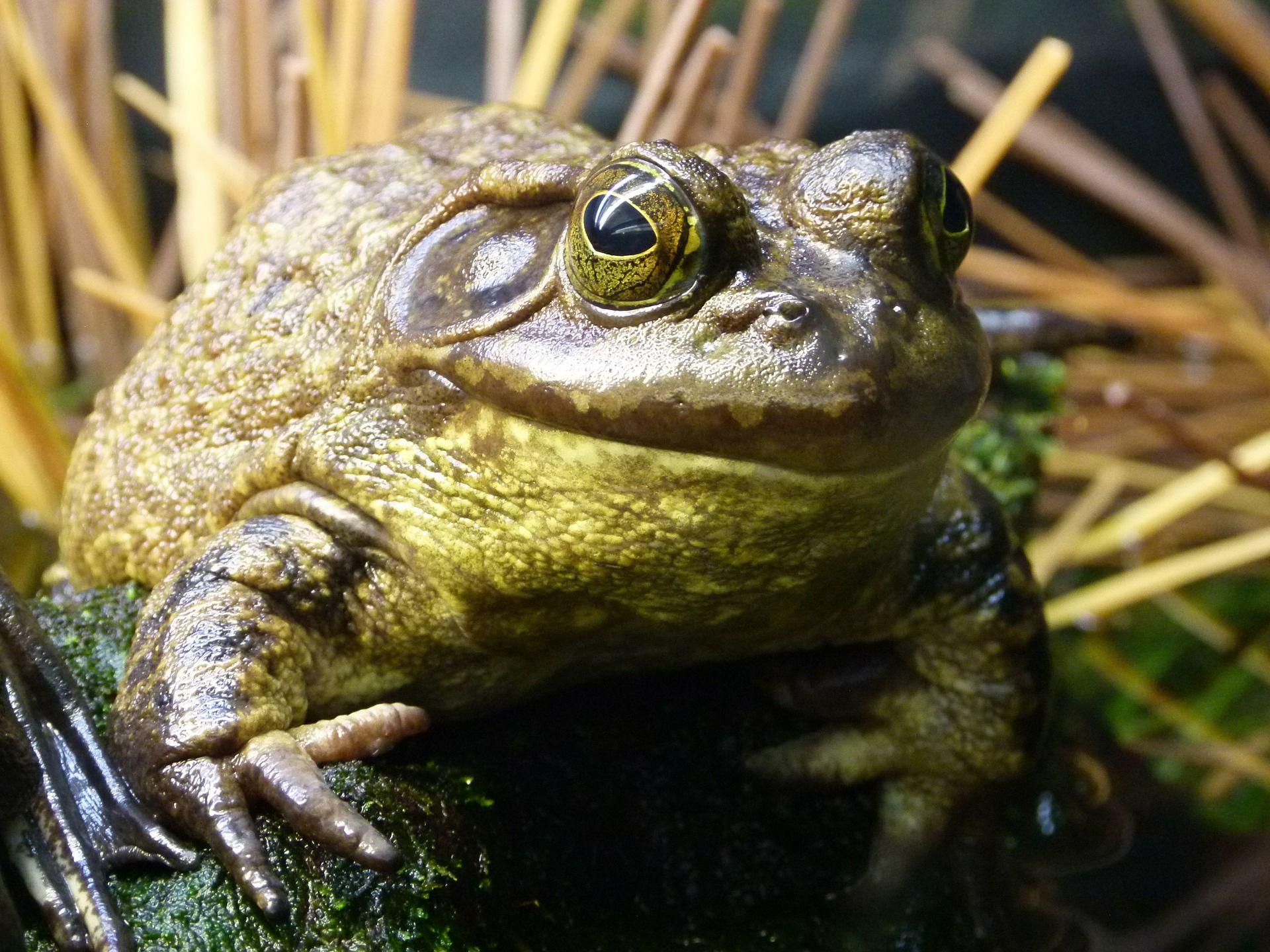 Смотреть красивую картинку жаба на природе крупным планом