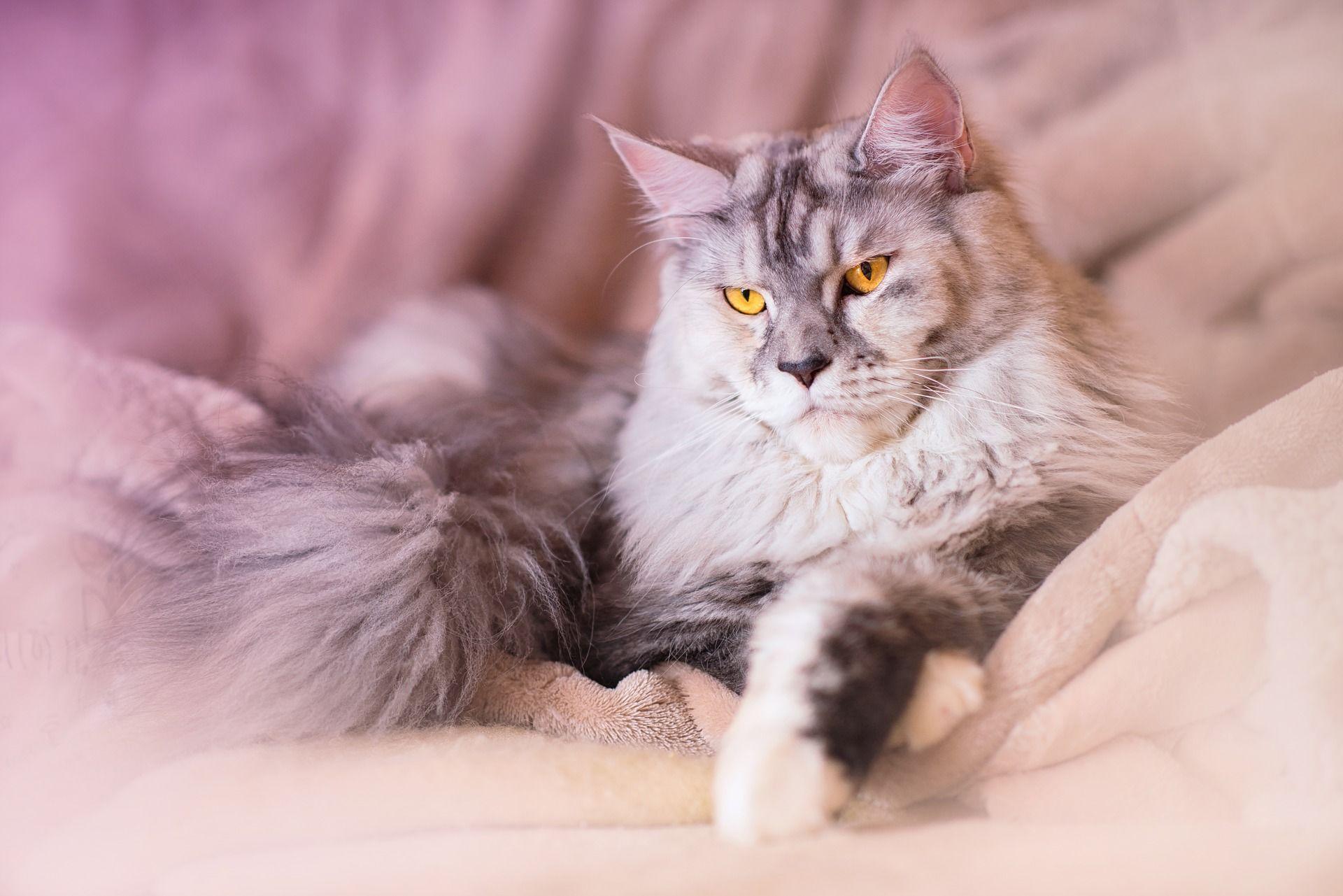 Фото котенка мейн куна бесплатно