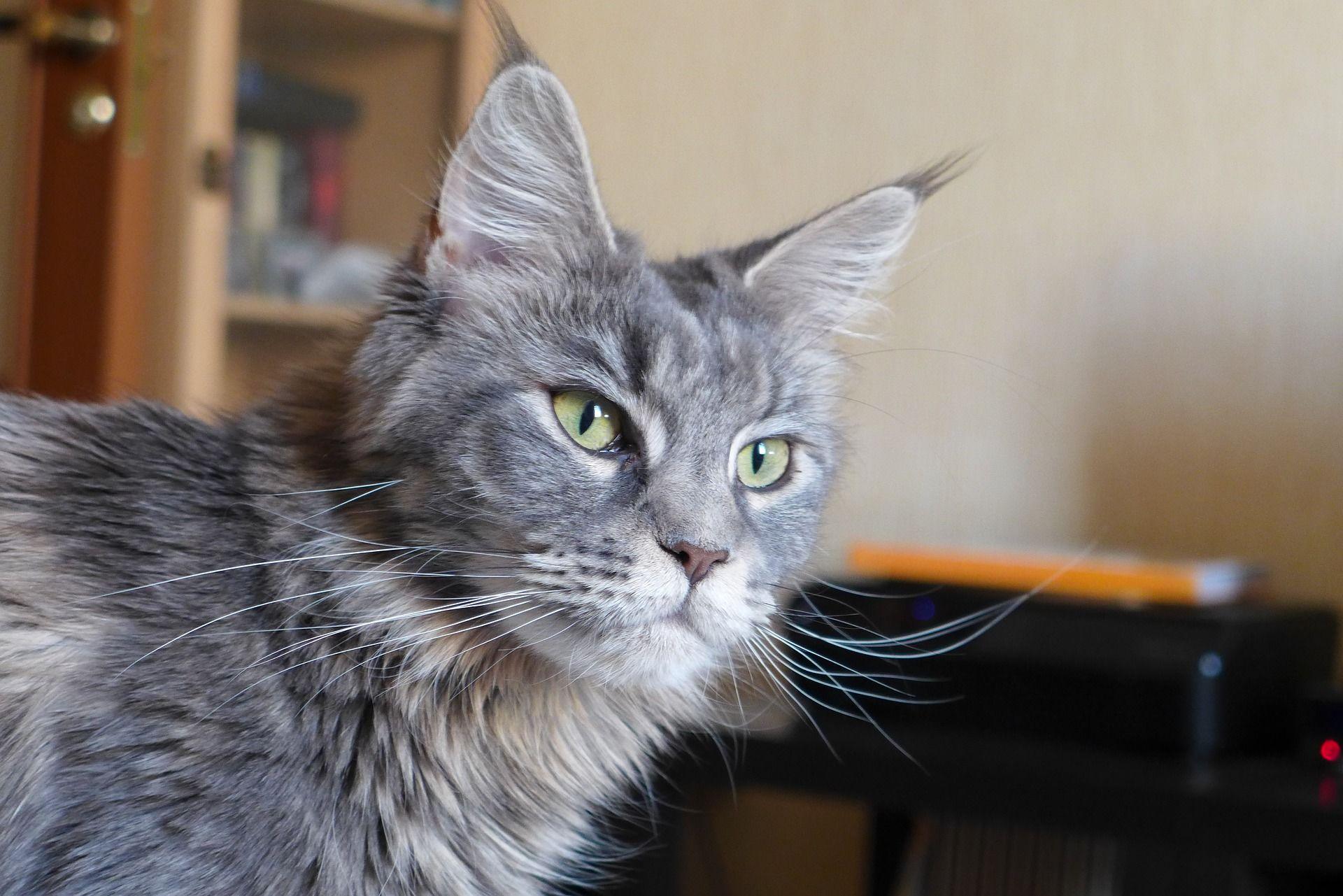 Фото породы кошек и котов мейн кун