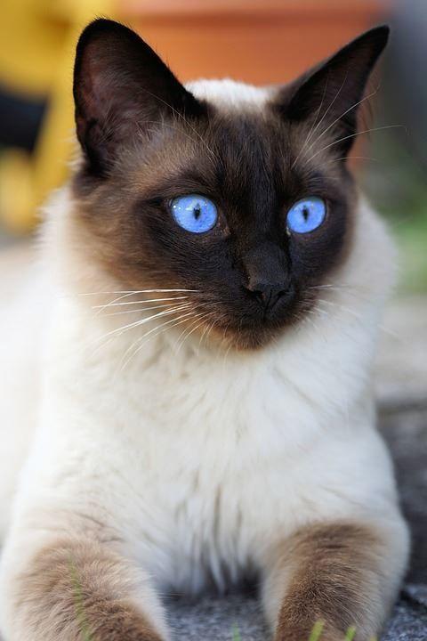 Фото сиамской породы кошек и котов
