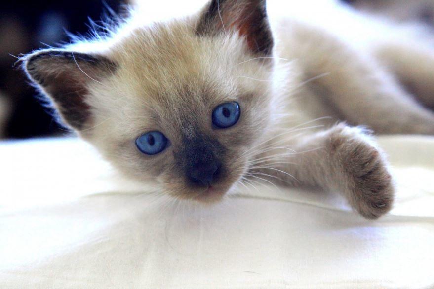 Сиамские кошки с вредным и пакостливым характером