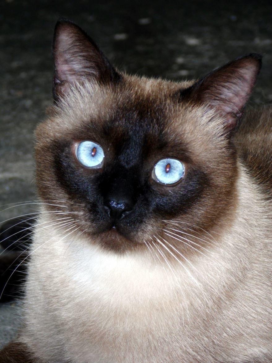 Картинки с породой сиамских кошек различного окраса