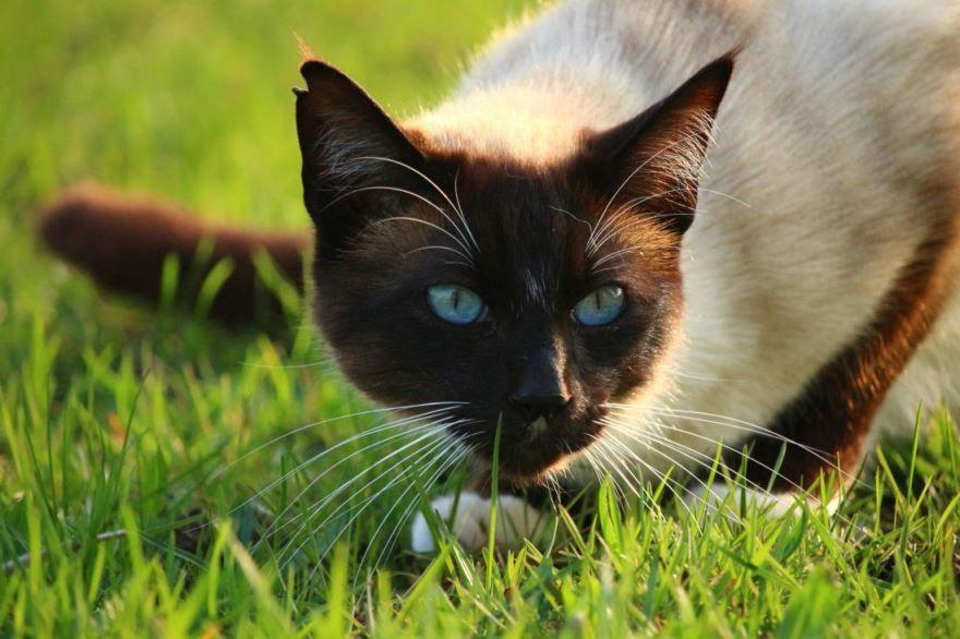 Фото породы сиамских кошек с описанием и названием