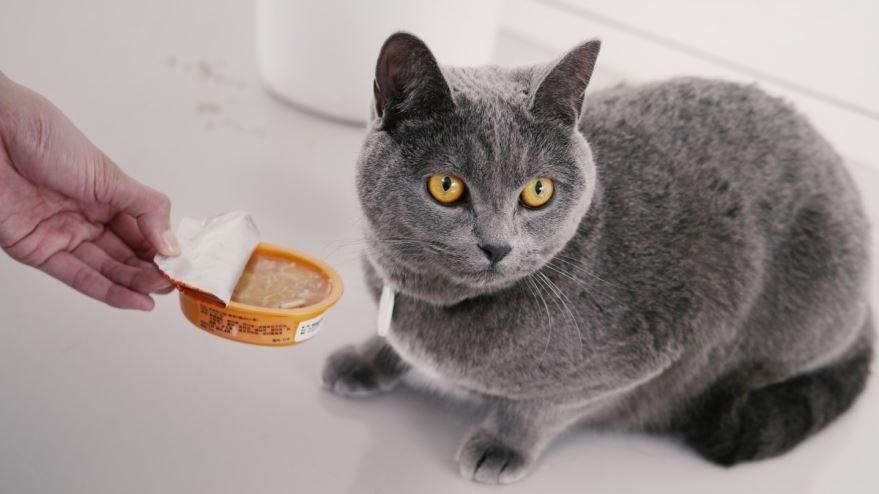 Скачать фотографии вислоухой британской кошки
