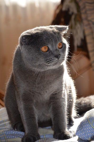 Домашние фото британской кошки