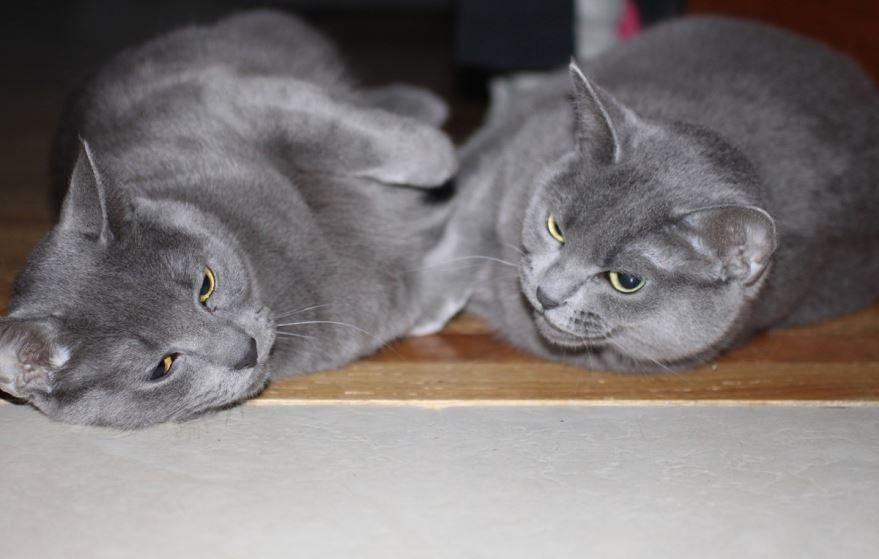 Кошки британской породы с серым окрасом