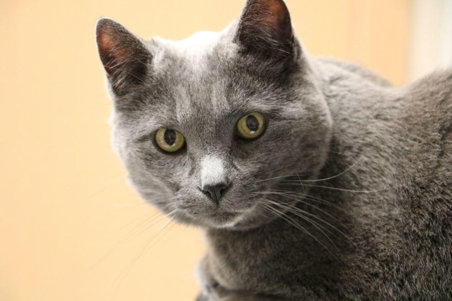 Фото британской кошки с желтым цветов глаз