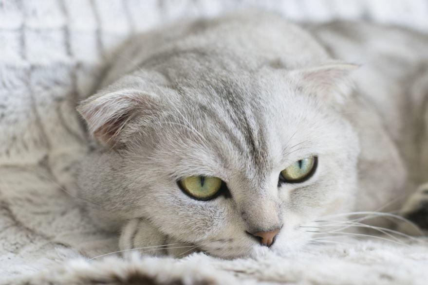 Красивый окрас шотландского кота-мальчика