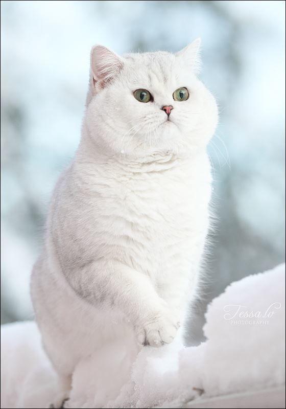 Фото шотландской прямоухой кошки