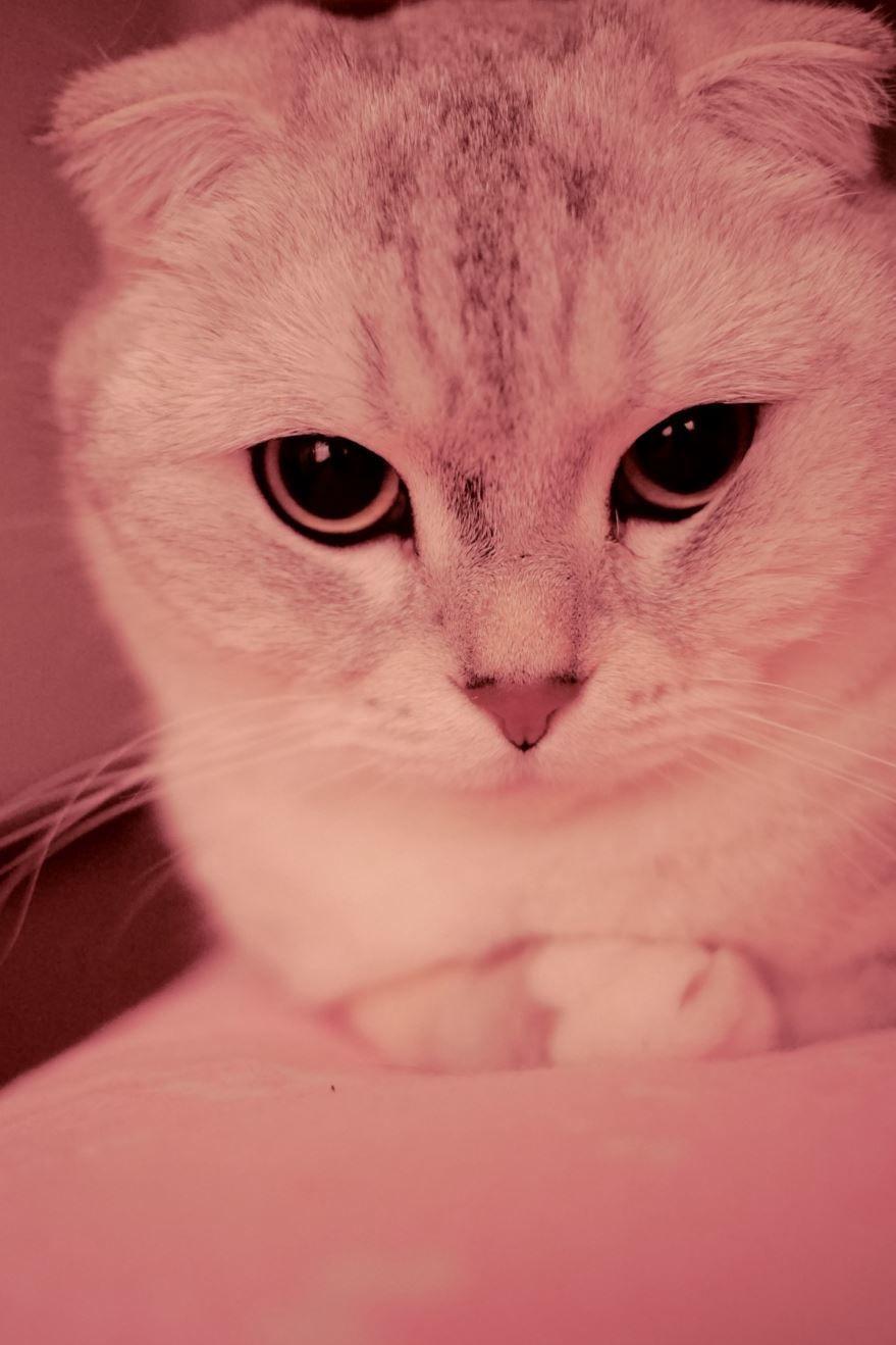Какие шотландские кошки? Смотрите фото