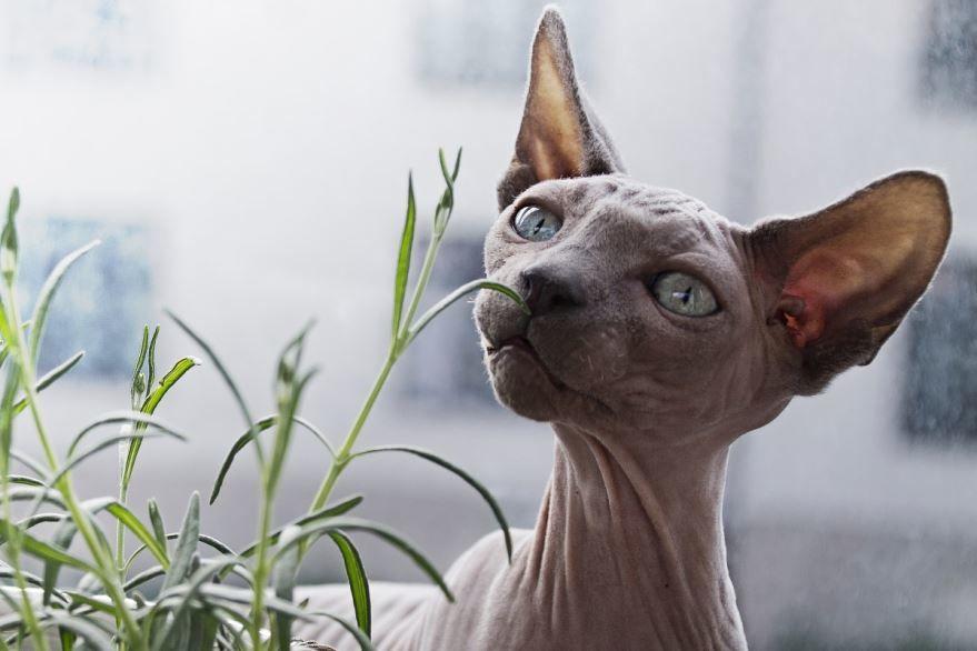 Фото лысой кошки онлайн