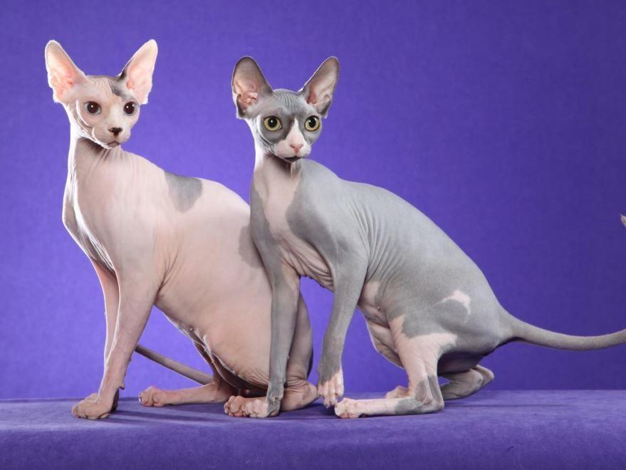 Фото египетской кошки, скачать
