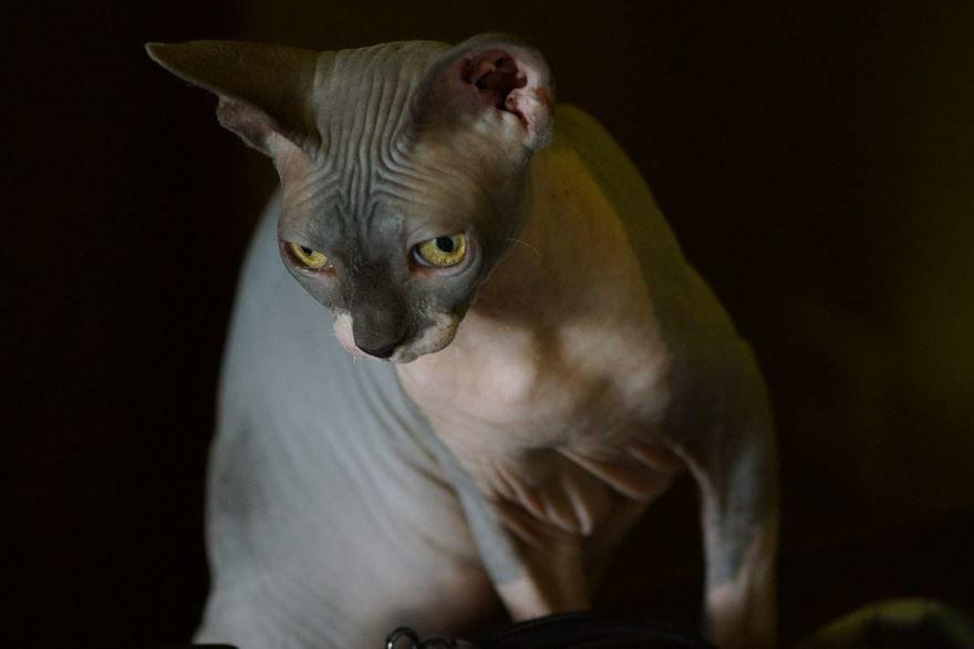 Красивое фото кота сфинкса