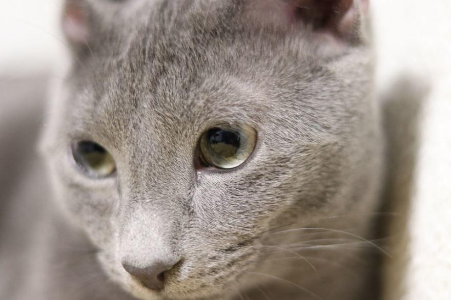 Фото с описанием русского голубого кота