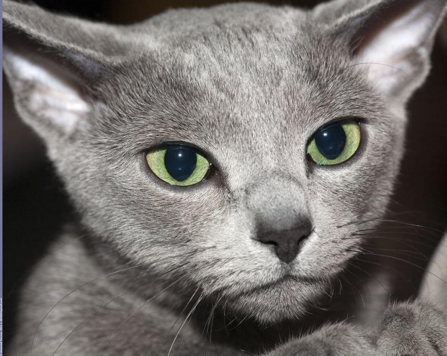 Картинки с русской голубой кошкой и котом