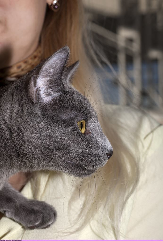 Купить фото русской кошки? Скачайте бесплатно