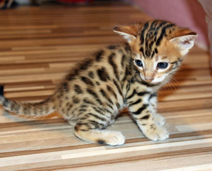 Скачать смешные фото бенгальской кошки