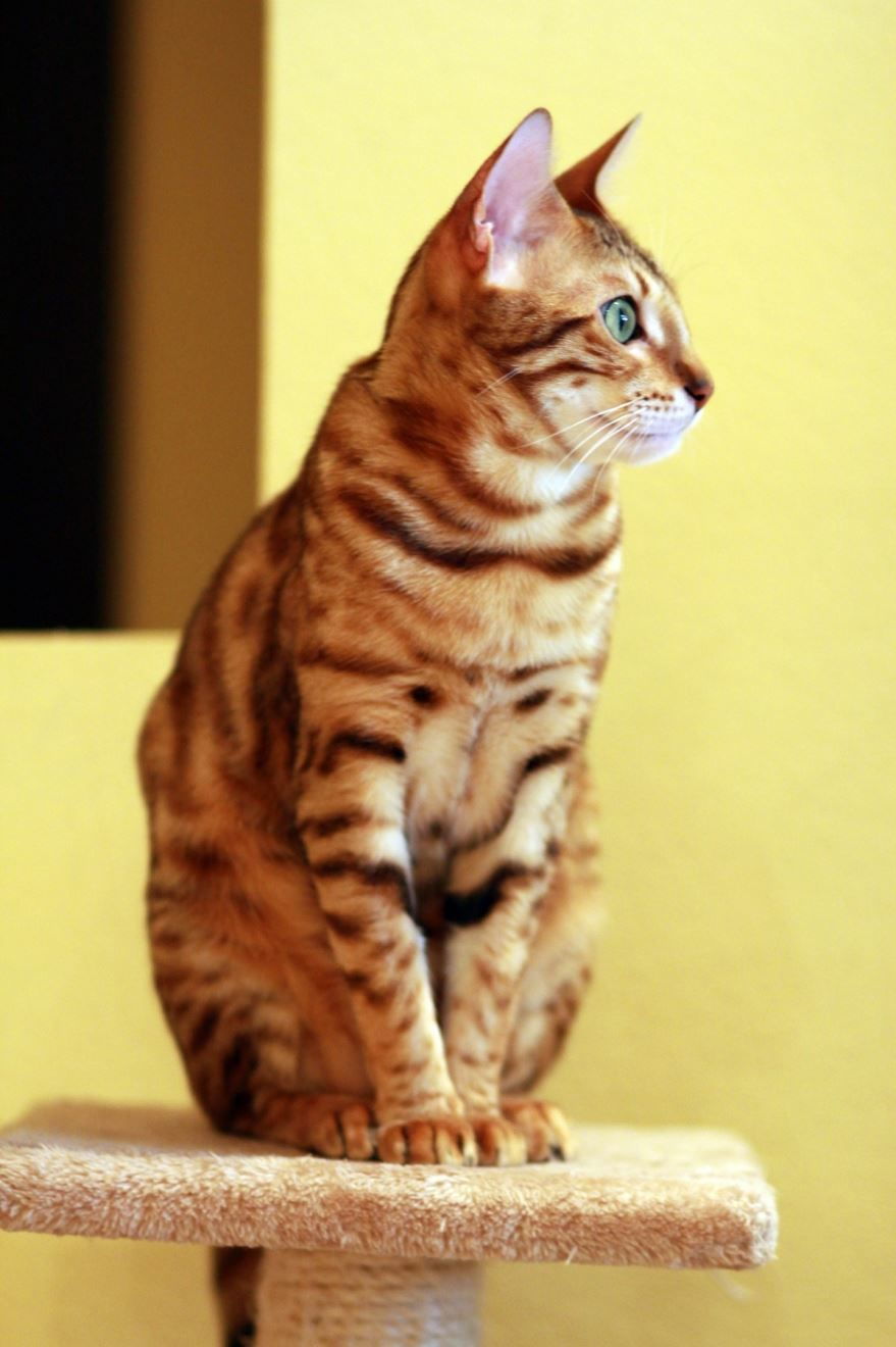 Фото с описанием бенгальского кота