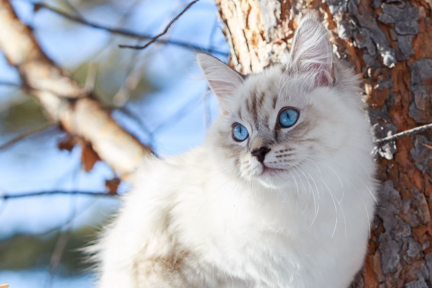 Фото с описанием белого сибирского кота