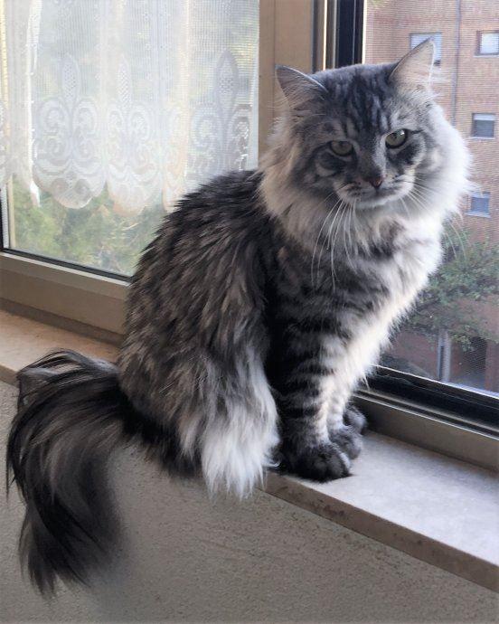 Скачать фото черно-серой сибирской кошки