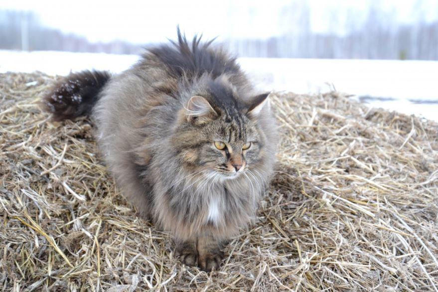 Купить фото сибирского кота? Скачайте бесплатно