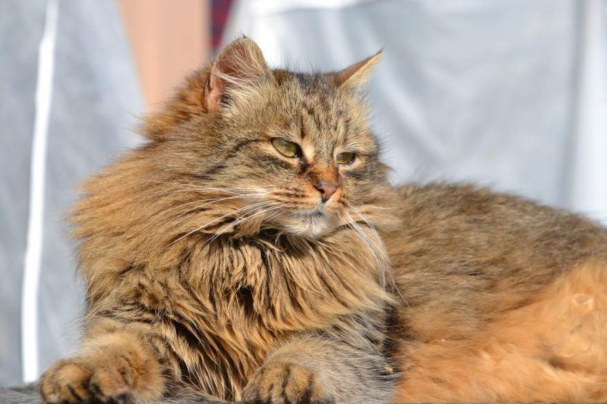 Картинки с сибирской кошкой и кота