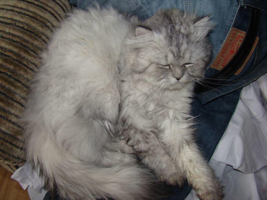Фото сибирской кошки