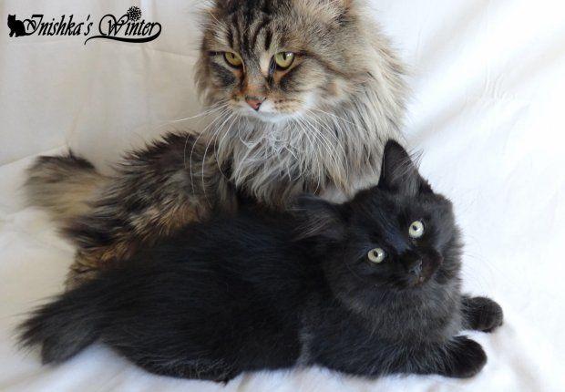 Скачать фото черной сибирской кошки