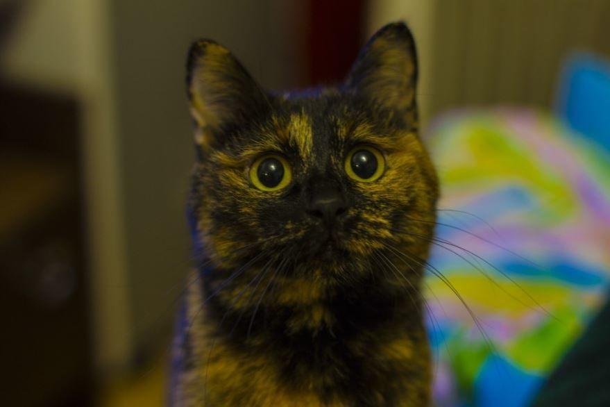 Фото с описанием кошек и котов бобтейлов