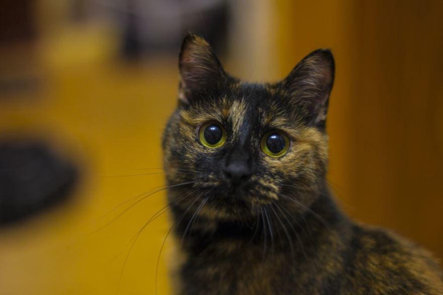 Купить фото кота бобтейла? Скачайте бесплатно