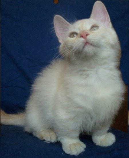 Фото котят манчкина