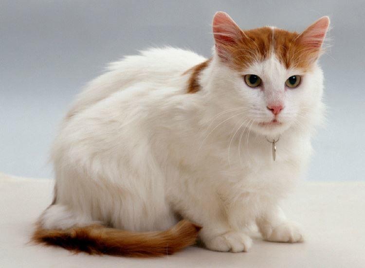 Картинки с манчкин кошкой и котом