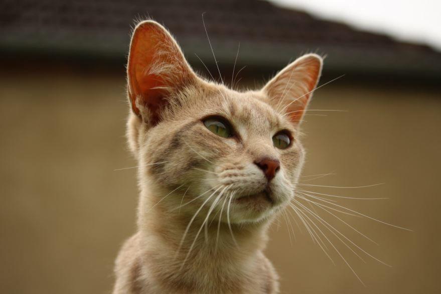 Фото абиссинской породы кошек с красивыми глазами