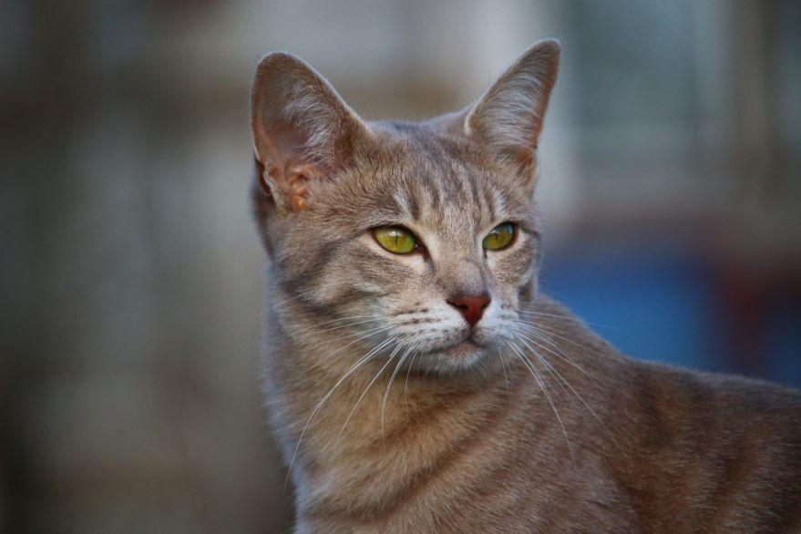 Фото породы абиссинской кошек с описанием и названием