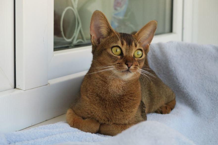 Фото абиссинской породы кошек и котов