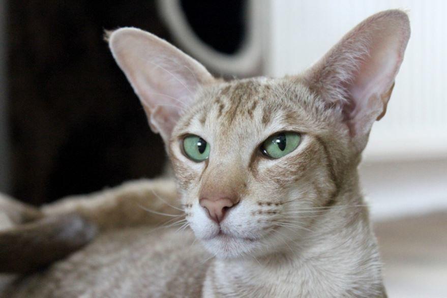 Картинки с породой абиссинских кошек различного окраса