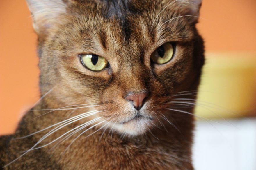 Абиссинские кошки со спокойным и величественным характером
